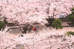 ゴールデンウイーク 桜