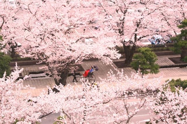 東北の桜を見にゴールデンウイークに行くなら?温泉や祭りも堪能しよう♪